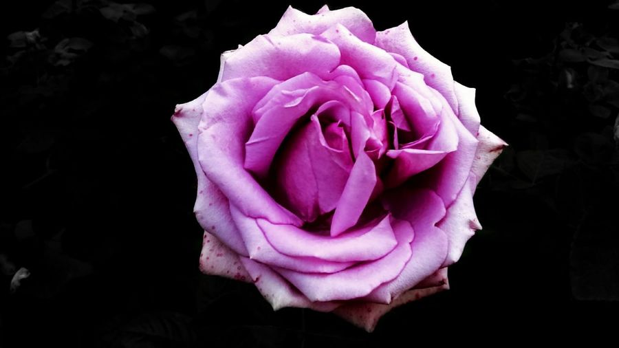 Flower Rose - Flower Nature Beauty In Nature Pink Color No People Nature_collection Flower Photography Flower Collection Nikon Nature Photography National Park