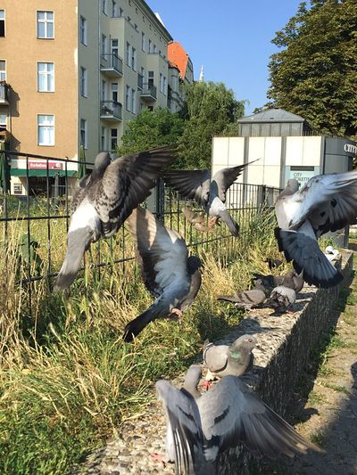 Caught some Pidgeons Spieri Style this Morning . Animals In Action Fly Away With Me. Pidgeonlife Battleofthebackyard