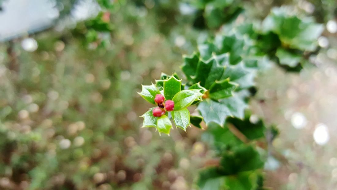 Holly Nature Growth Close-up Plant Flower Beauty In Nature No People Green Color Outdoors Freshness