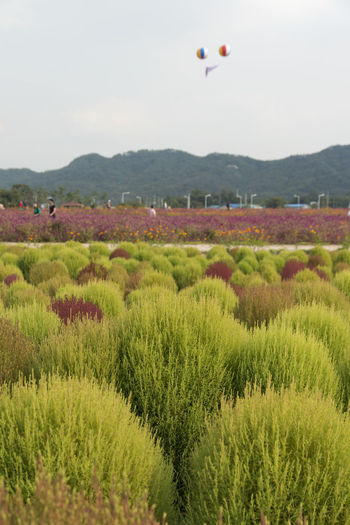 festival of globe amaranth flower with bellvedere at Nari Park in Yangju, Gyeonggido, South Korea Plant Agriculture Beauty In Nature Bellvedere Day Field Flying Grass Growth Hot Air Balloon Landscape Mid-air Mountain Nature No People Outdoors Park Sky Tree