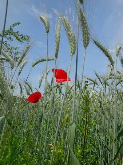 Field Poppy Flowers Wheat Wheat Field Srbija Serbia No Filter Open To Edit