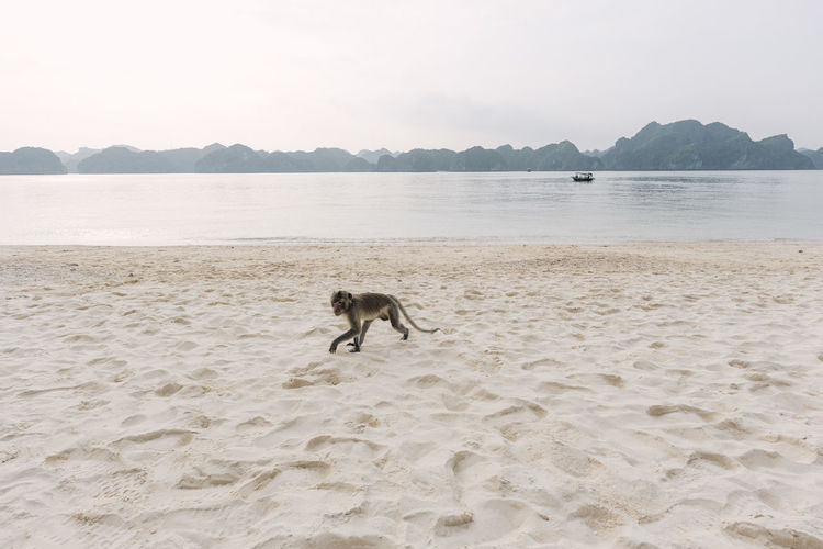 Monkey on the shore of Monkey Island, Vietnam Adventure ASIA Beach Boat Cat Ba Cat Ba Island Monkey Monkey Island Nature No People One Animal Outdoors Primate Sand Shore Travel Travel Photography Travelphotography Vietnam