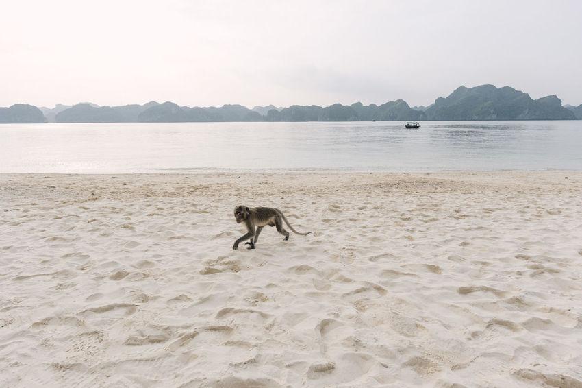 Monkey on the shore of Monkey Island, Vietnam Adventure ASIA Beach Boat Cat Ba Cat Ba Island Monkey Monkey Island Nature No People One Animal Outdoors Primate Sand Shore Travel Travel Photography Travelphotography Vietnam