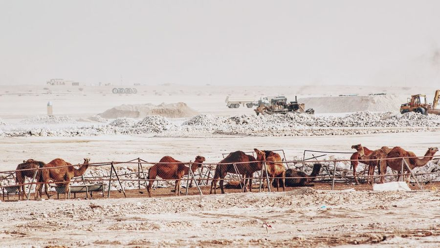 Camels On Field Against Sky
