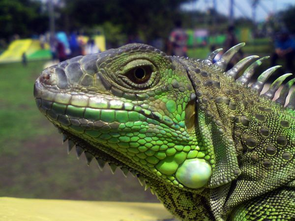 Green Iguana Macro Beauty Macro Photography Animal Themes Animal Wildlife Animals In The Wild Close-up Day Focus On Foreground Green Color Iguana Lizard, Reptiles Macro Nature Macro_collection Macroclique Nature No People One Animal Outdoors Reptile
