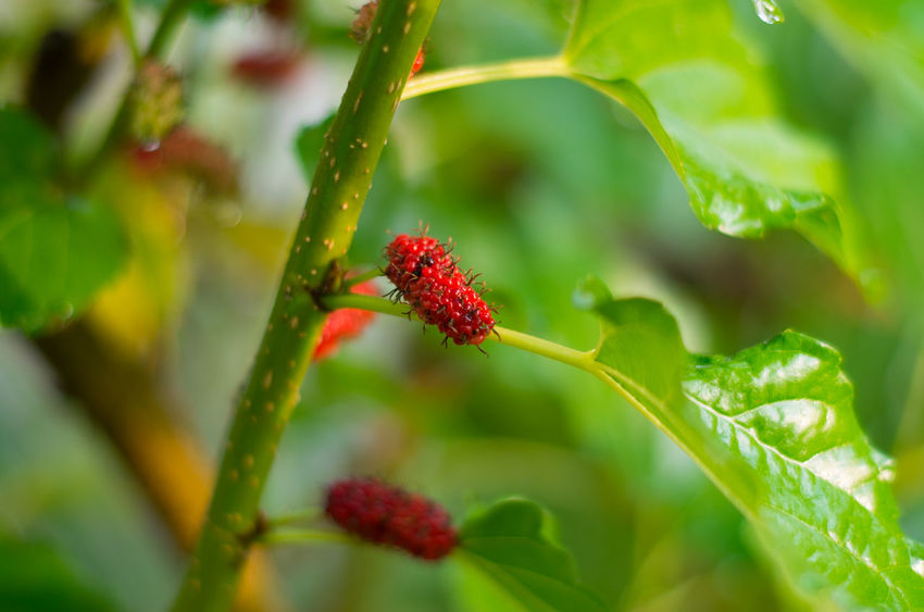 Red Growth Nature Plant Close-up Fruit Freshness Green Color Berry Fruit Leaf Agriculture Outdoors Beauty In Nature No People Day Tree Lush - Description Mulberry Mulberry Tree Mulberry Fruit Mulberries Mulb