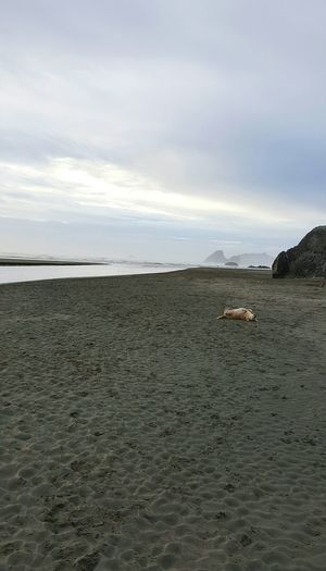 Frolicking Dogslife Moonstone Beach Humboldt County Northern California Beautiful My Best Friend Road Dog Beach Life Beach Bum Playing In The Sand