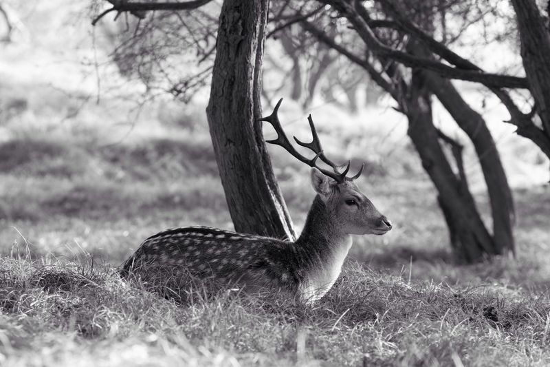 Deer lying on field