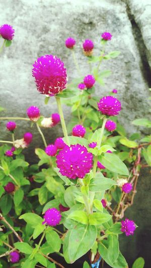 Amaranth flower in tree 2 Amaranth Flower In Tree Pink Flower Purple Flower Flower Head Flower Pink Color Purple Petal Close-up Plant Botany Plant Life In Bloom Pollen Blooming Purple Color