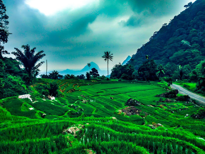 Simalungun Wonderful Tea Crop Tree Rice Paddy Rural Scene Terraced Field Mountain Agriculture Irrigation Equipment Cereal Plant Field Agricultural Field Dramatic Sky Thunderstorm Rice - Cereal Plant