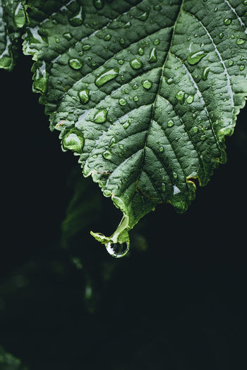 Close-up of water drops on leaves against black background