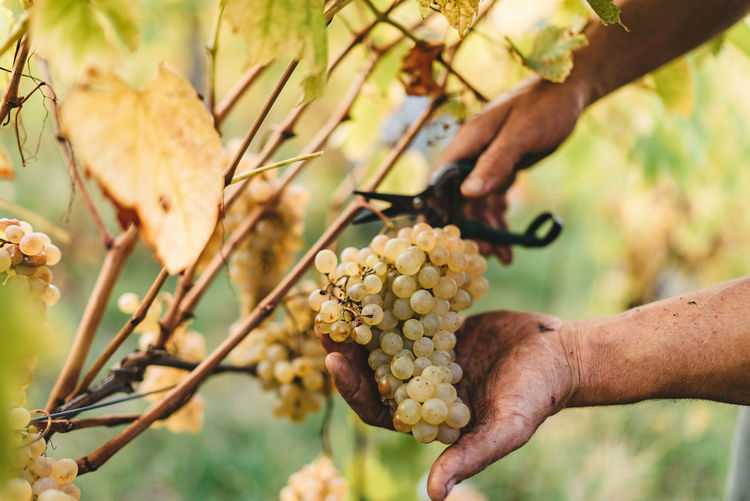 Cropped hands of man cutting grapes in vineyard