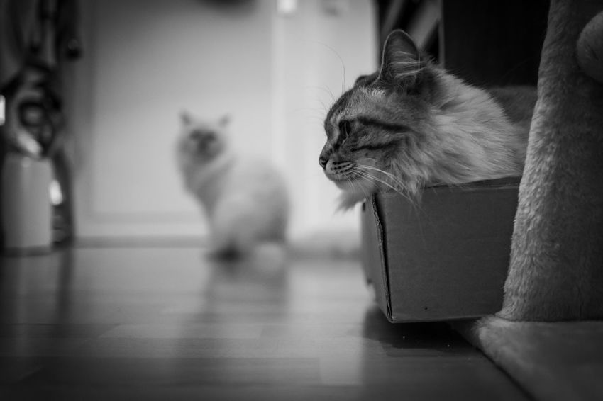 Indoor photo of Sacred Birman cat Mammal Domestic Pets Cat Domestic Animals Animal Themes Domestic Cat Feline Animal One Animal Vertebrate Indoors  Flooring No People Home Interior Focus On Foreground Looking Hardwood Floor Whisker Animal Head  Sacred Birman Cat