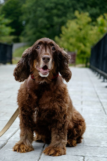 Dog Pets Domestic Canine Domestic Animals Mammal One Animal Animal Themes Animal Portrait Looking At Camera Brown Vertebrate Focus On Foreground Sitting Day Cocker Spaniel  No People Outdoors Hair Purebred Dog Field Spaniel EyeEmNewHere