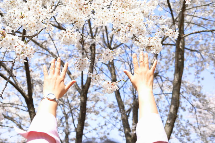 Low angle view of hands on cherry blossom