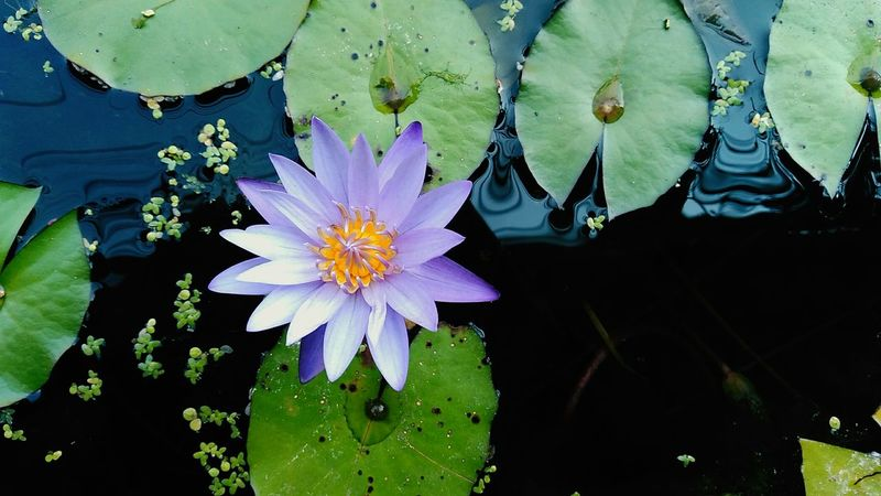 purple lotus flower Flower Flowers Flower Collection Flowers,Plants & Garden Flowers, Nature And Beauty Flower Photography Pink Flower Purple Flower Purple Lotus Lotus Flower Plant Close-up Plant Outdoors Growth Leaf No People Day Water Lily Multi Colored