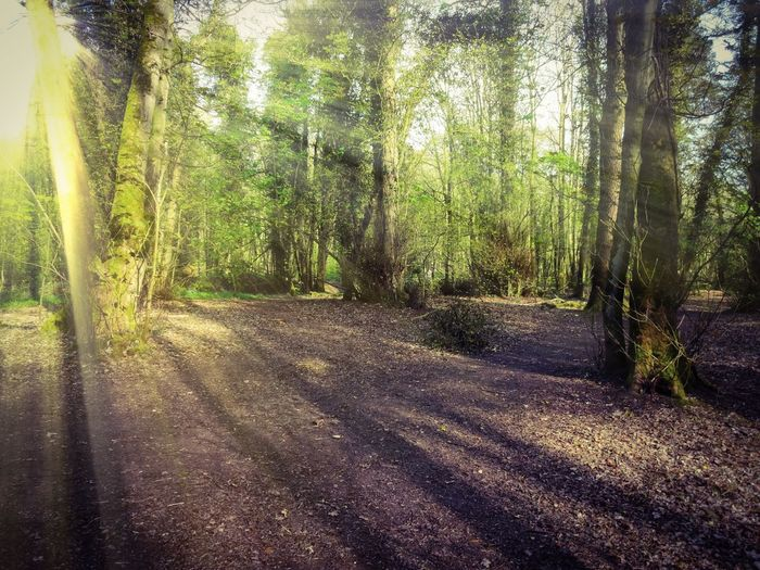 Good Morning Tree Forest Nature Tree Trunk Tranquility Tranquil Scene WoodLand Sunlight Beauty In Nature Outdoors No People