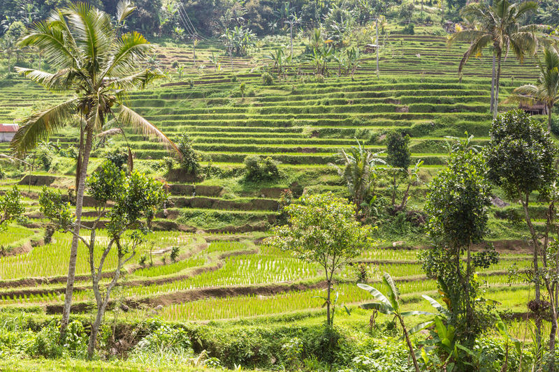 Jatiluwih rice terraces in Bali, Indonesia Agriculture ASIA Bali Beauty In Nature Day Farm Field Green Green Color Growth INDONESIA Jatiluwih Rice Terrace Landscape Nature No People Outdoors Palm Tree Rice Paddies Rice Paddy Rural Scene Scenics Terraced Field Tranquility Travel Tree