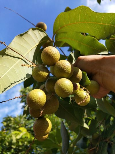 Human Hand Tree Fruit Leaf Citrus Fruit Branch Yellow Close-up Sky Food And Drink