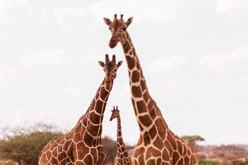 Giraffes Standing Against Sky