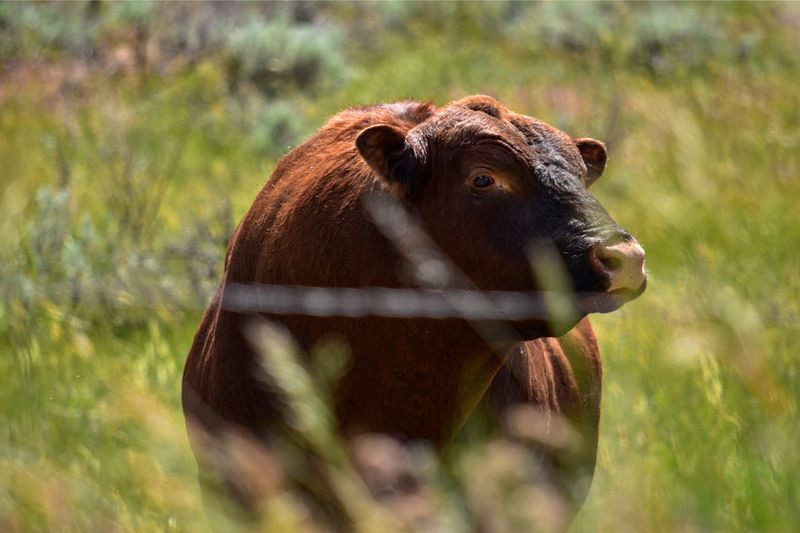 Bull curiosity next to fence