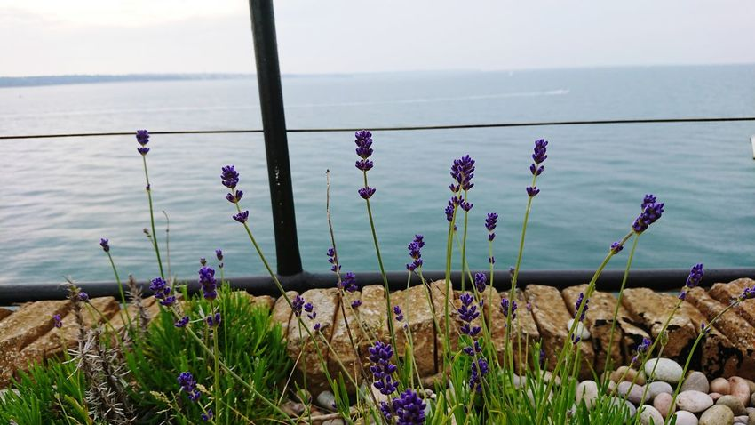 No Mans Fort Solent Forts Flower Water Sea Sky Close-up Plant Horizon Over Water Lavender Flowering Plant In Bloom