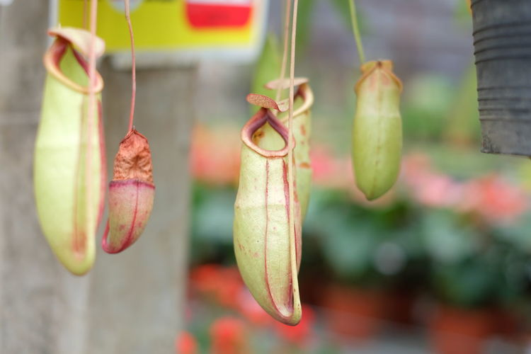 Close-up of pitcher plants hanging in yard