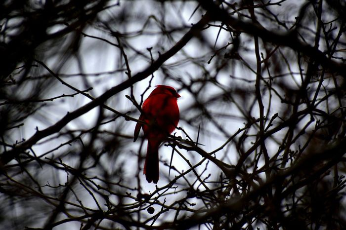 Nikon Bokeh Cardinal Bird Red Perching Branch Tree Winter Animal Animal Wildlife Wilderness One Animal Snow Nature Cold Temperature Beauty In Nature Outdoors Day