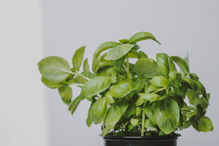 Green basil in pot isolated on white background Green Basil Basil Fresh Basil Freash Leaf Plant Part Green Color Herb Plant Indoors  Nature Close-up Food And Drink No People Growth Freshness Studio Shot Food Still Life Potted Plant Beauty In Nature Wellbeing Healthy Eating Leaves Houseplant