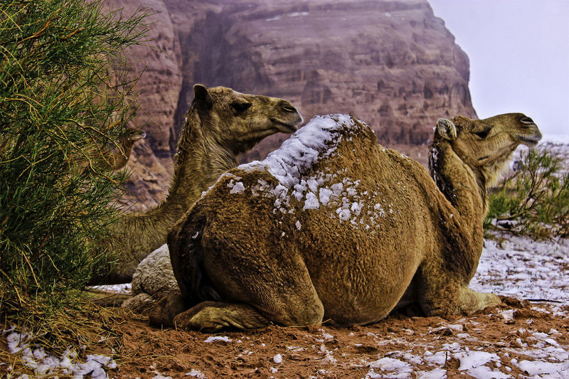 snowfall on camels Animal Themes Animal Wildlife Relaxation Outdoors Animals In The Wild Mammal Animal Nature Focus On Foreground Snow Camel Photography Photo Tabuk Landscape