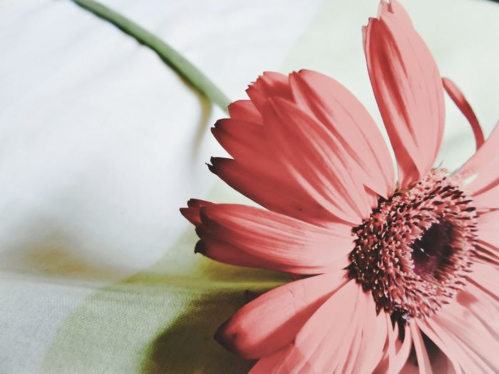 Close-Up Of Gerbera Daisy On Table