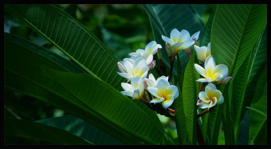 Flowers.. Outdoors Flowers EyeEm Nature Lover Beauty In Nature Plumeria Plumeria Flowers Nature Nature Photography Nature On Your Doorstep Plant Leaves Flowers,Plants & Garden Enjoying Life Yellow Flowers Yellow White Flower White Flower