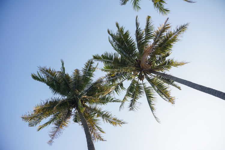 Coconut Tree Blue Sky Business Finance And Industry Magazine Godean Sleman Coconut Palm Tree Coconut Evening Sky Nature Life Outdoors Colorful Wallpaper Background Yogyakarta ASIA Travel Destinations Tourist Pattern High Low Angle View Tree Branch Clear Sky Flower Sky Close-up Botany Plant Life