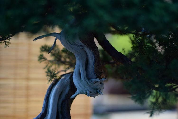 Close-up of bonsai tree