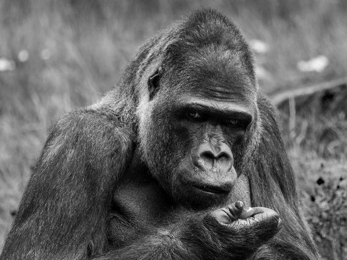 Bao bao, western lowland gorilla