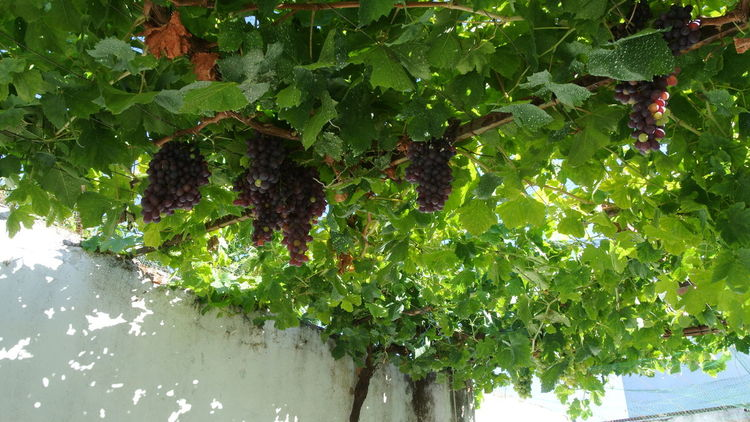 Alpiarça, Portugal Botany Change Close-up Day Freshness Fruit Grapes Green Green Color Growing Growth Leaf Leaves No People Plant Potted Plant Stem Tropical Climate Wineyard