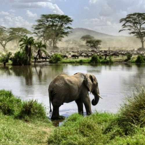 Elephant in Serengeti national park Tanzania Amazing Animal Nice_place_to_visit Nationalpark Insta_pictur Beautiful instaanimals Instagood