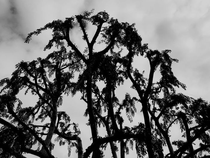 Tree Noir Tree