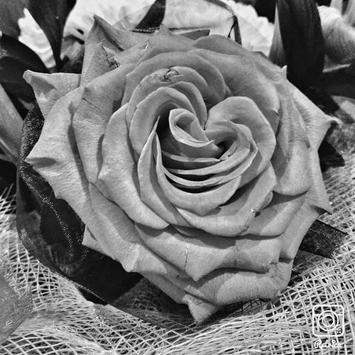 Roza Rosé Blackandwhite чернобелоефото