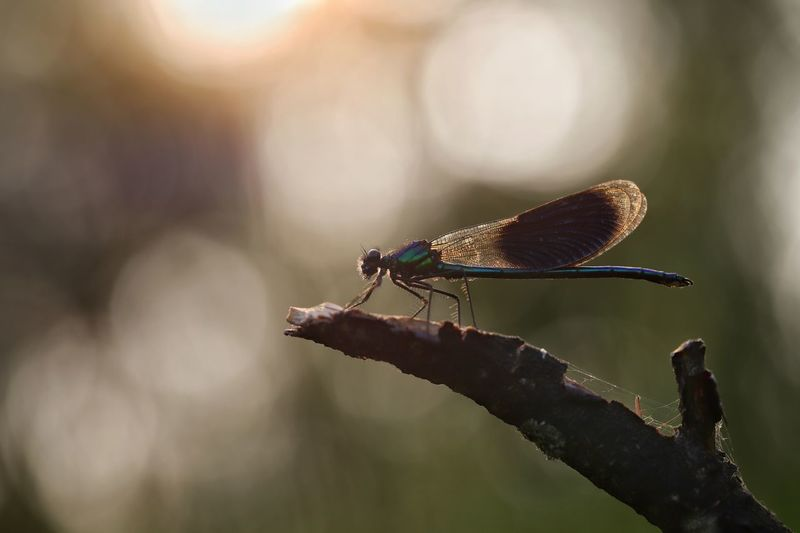 Morning Light Https://www.facebook.com/mh.photography.de/ Michael Hruschka Dragonfly Morning Morning Light Bokeh Macro Macro Photography EyeEm Nature Lover Makro Insect Animal Themes One Animal Animal Invertebrate Animal Wildlife Animals In The Wild Sunlight Damselfly Beauty In Nature Nature Animal Wing Outdoors