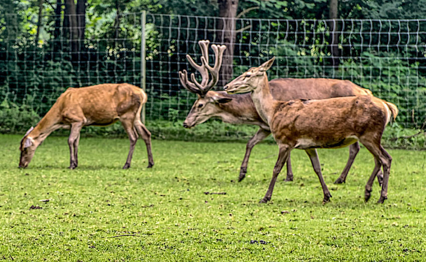Animal Animal Themes Animal Wildlife Animals In The Wild Beauty In Nature Damwild Grass Hirsch Nature No People Outdoors