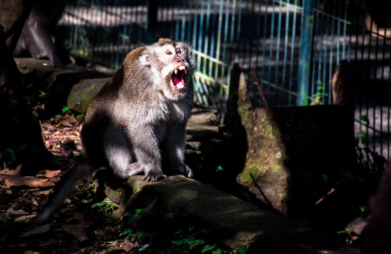 Bali, Indonesia Mouth Open Mammal Animal Animal Themes Mouth One Animal Anger Yawning Facial Expression Vertebrate No People Animal Wildlife Negative Emotion Aggression  Animals In The Wild Roaring Animal Teeth Nature Emotion Day Snarling