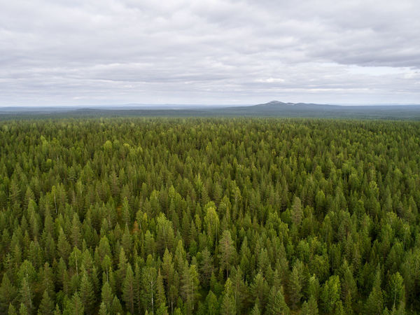 Aerial view of taiga aka boreal forest in Finland Forestry Agriculture Beauty In Nature Boreal Cloud - Sky Day Environment Field Forest Green Color Growth Land Landscape Nature No People Non-urban Scene Outdoors Plant Scenics - Nature Sky Taiga Tranquil Scene Tranquility Tree