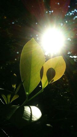Photosynthesis Leaves Sunshine Jupiter Florida Beautiful Hanging Out Walking Around Life Florida Life 43 Golden Moments Showcase June Fine Art Photography Amateurphotography Growth Plant Two Is Better Than One Sunbeam Photosynthesis Leaf Patterns🍂 Leaf Veins Shadows & Lights Shawdows