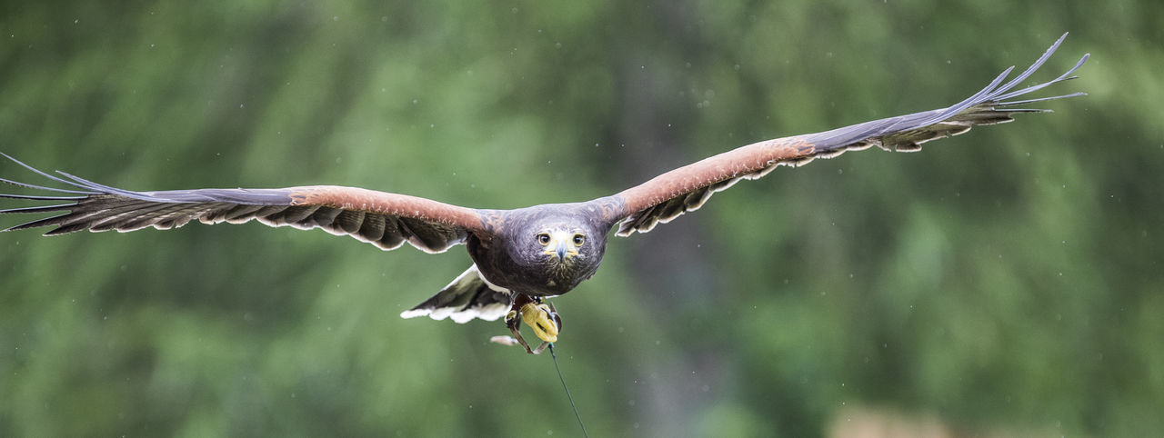 Portrait Of Harris Hawk Flying Against Trees