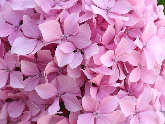 Flower Pink Color Petal Beauty In Nature Nature No People Plant Full Frame Growth Close-up Outdoors Backgrounds Freshness Flower Head Day Hortensia Blooming