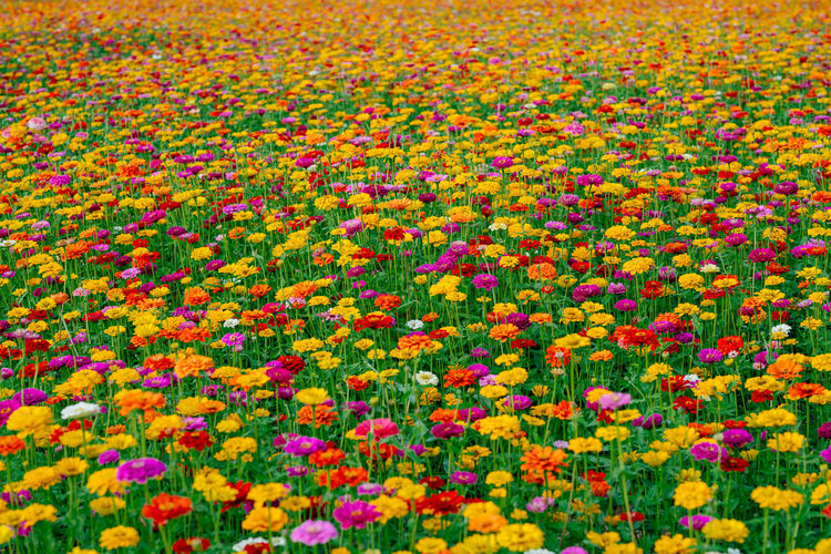 Full frame shot of multi colored flowers blooming on field
