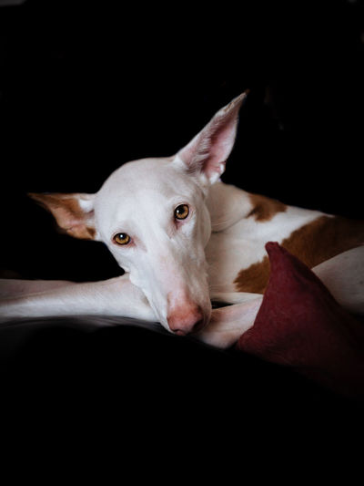 Close-up portrait of dog relaxing on black background