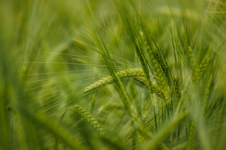 """Green fields are the real green dollars!""  ― Mehmet Murat ildan Field Green Nature Green Corn Details Bokeh Bokehlicious Abstract Natural Light Nature Green Fields Outdoors The Essence Of Summer Pastel Macro Nature Beauty In Nature Summer Growing Growth Exceptional Photographs Original Experiences Fine Art Photography Color Palette Color Of Life Pivotal Ideas"