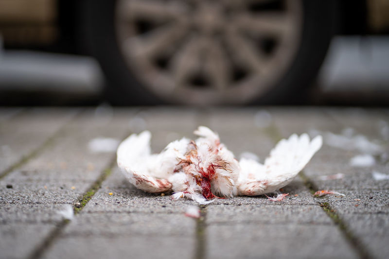 Killed white pigeon Selective Focus City No People Footpath Close-up Street Day Outdoors Animal Dirty Flooring Motor Vehicle Animal Themes Food Surface Level Misfortune Blood Dirt Dead Killed Pigeon Bird